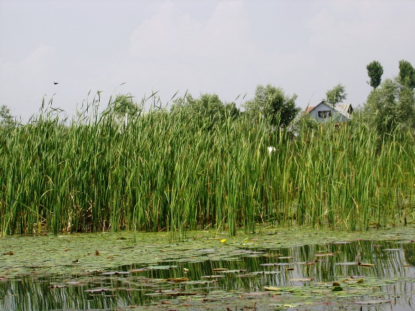 vegetation in Dal