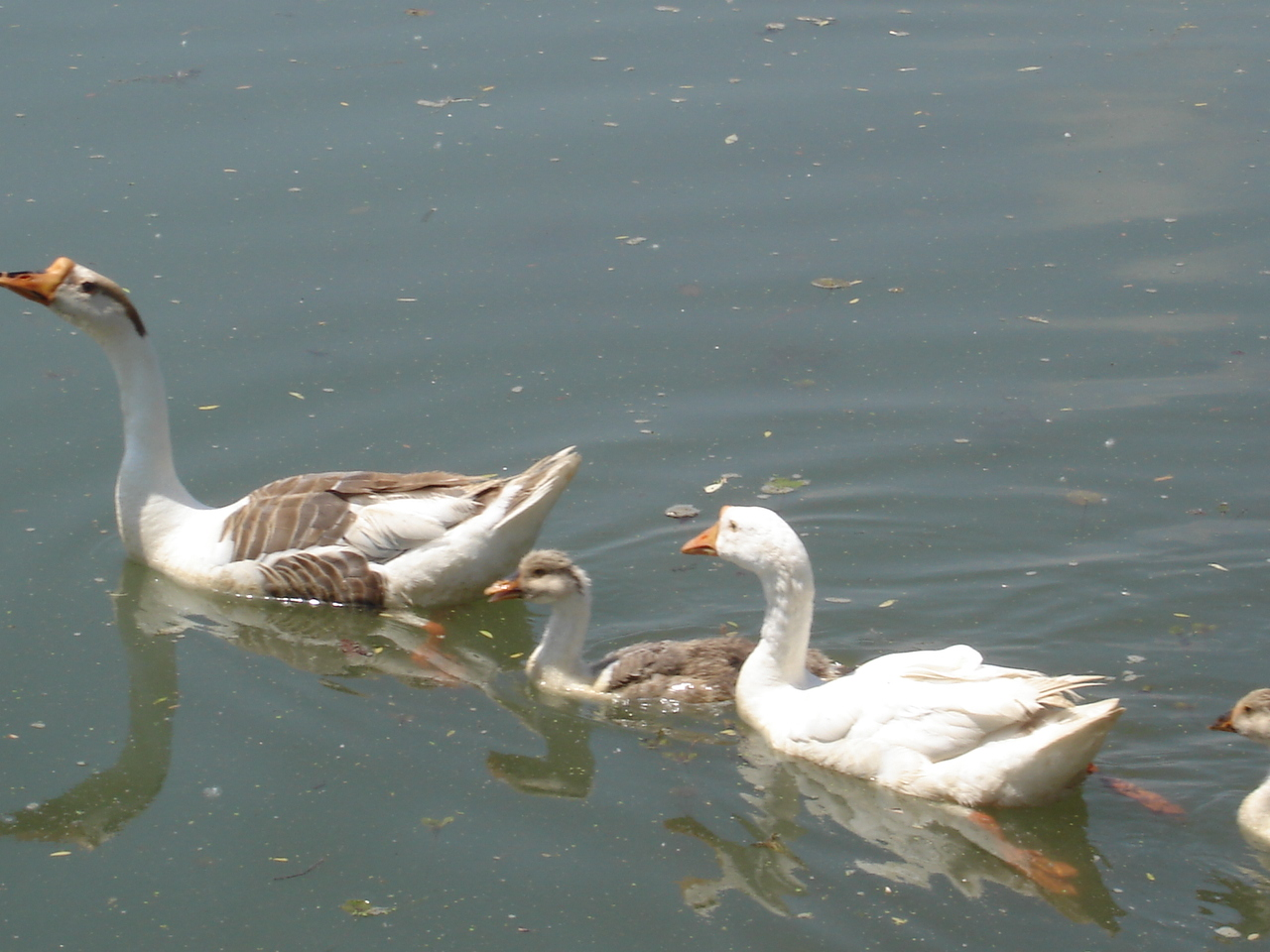 Ducks in the lake